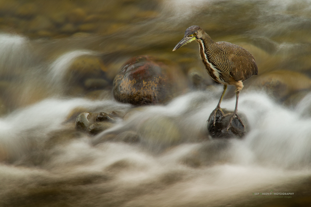 Fasciated tiger heron fishing at the end of the day in the Sarapiqui River in the lowland rainforests of Costa Rica. The heron's amazing concentration and stillness allowed me to shoot at long shutter speeds to blur the water while still rendering the bird sharp.