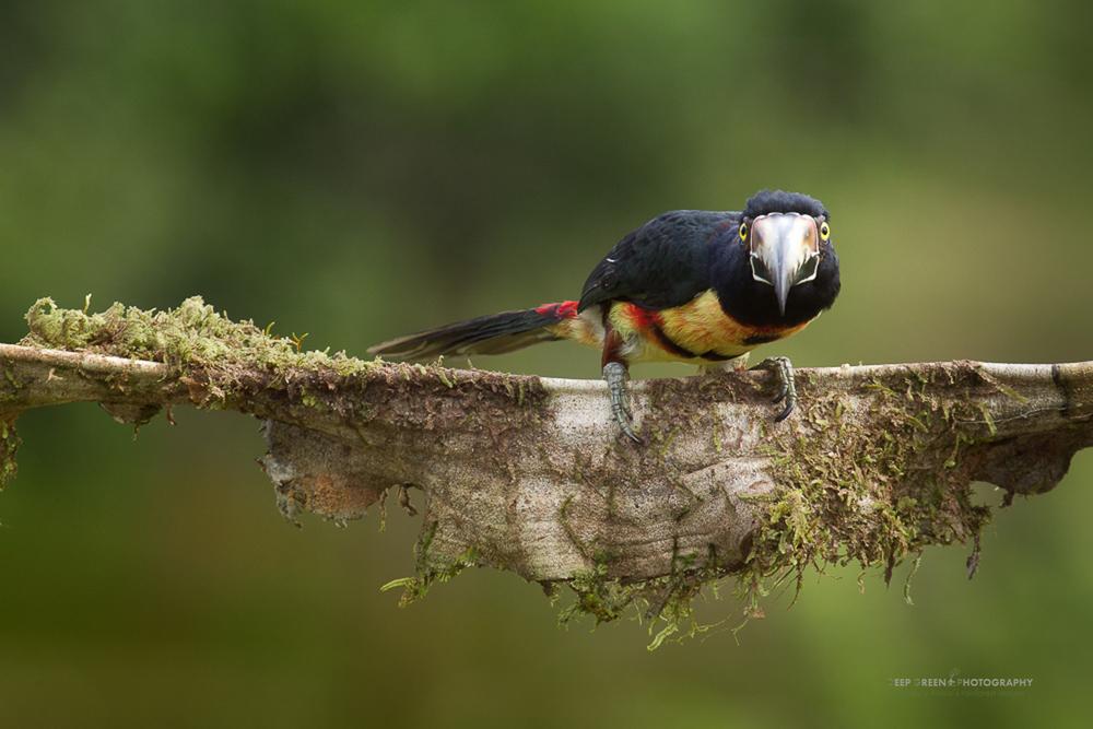 a collared aracari on a rainforest liana