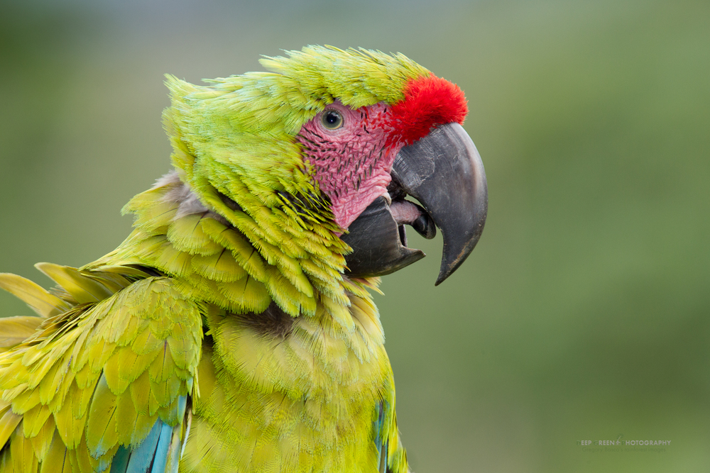 portrait of an endangered great green macaw