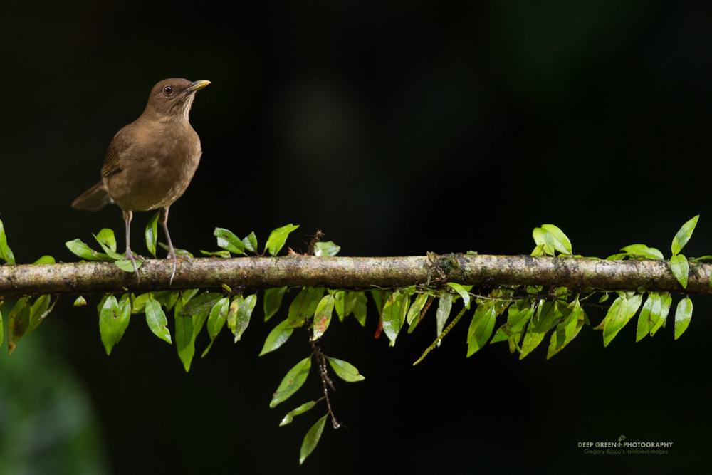 clay-colored thrush, Costa Rica's national bird