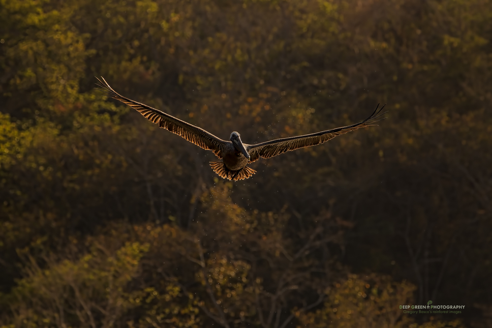 Brown pelican flying against tropical dry forest
