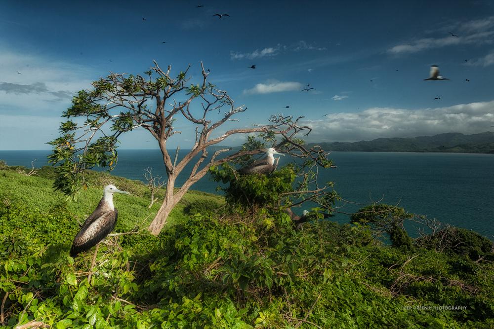 Magnificent frigatebirds nest on a rocky island on the Guanacaste coast