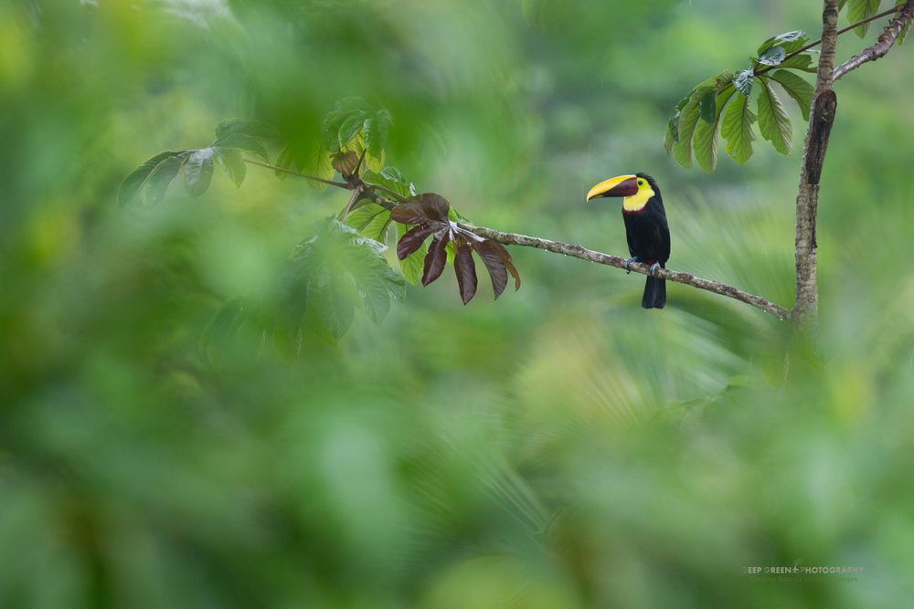 black-mandibled toucan in rainforest