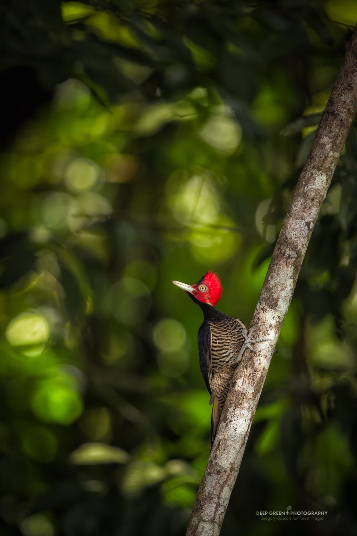 pale-billed woodpecker in rainforest