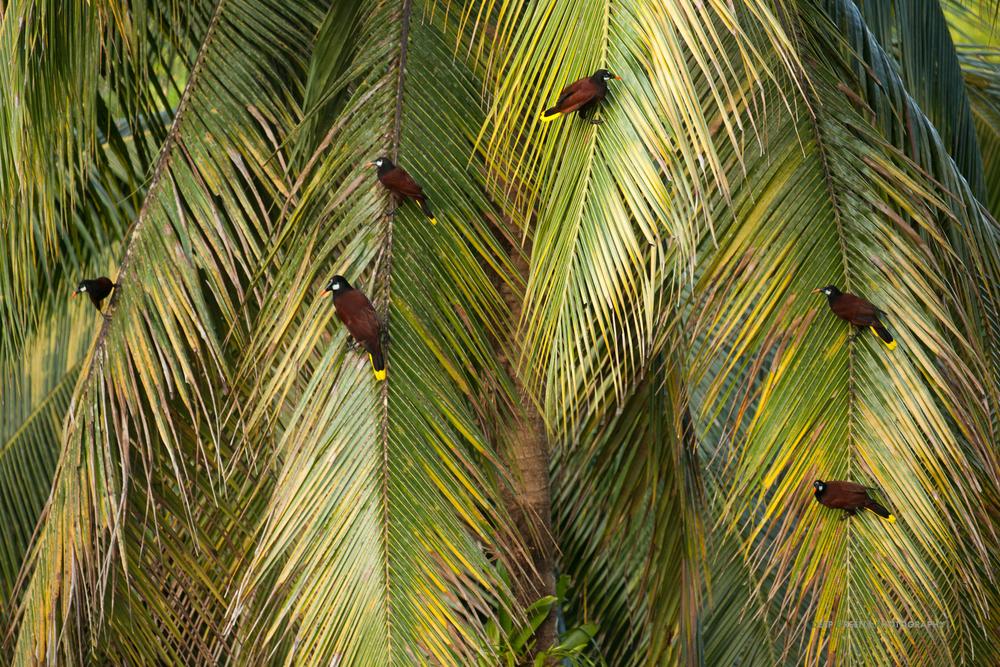 Montezuma oropendolas in palm tree