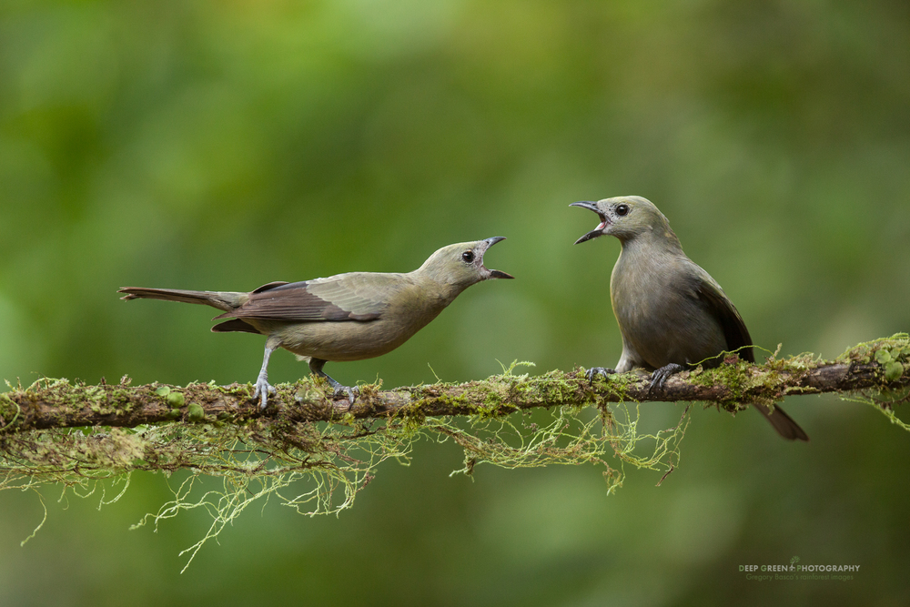 palm tanagers squabble on a rainforest branch