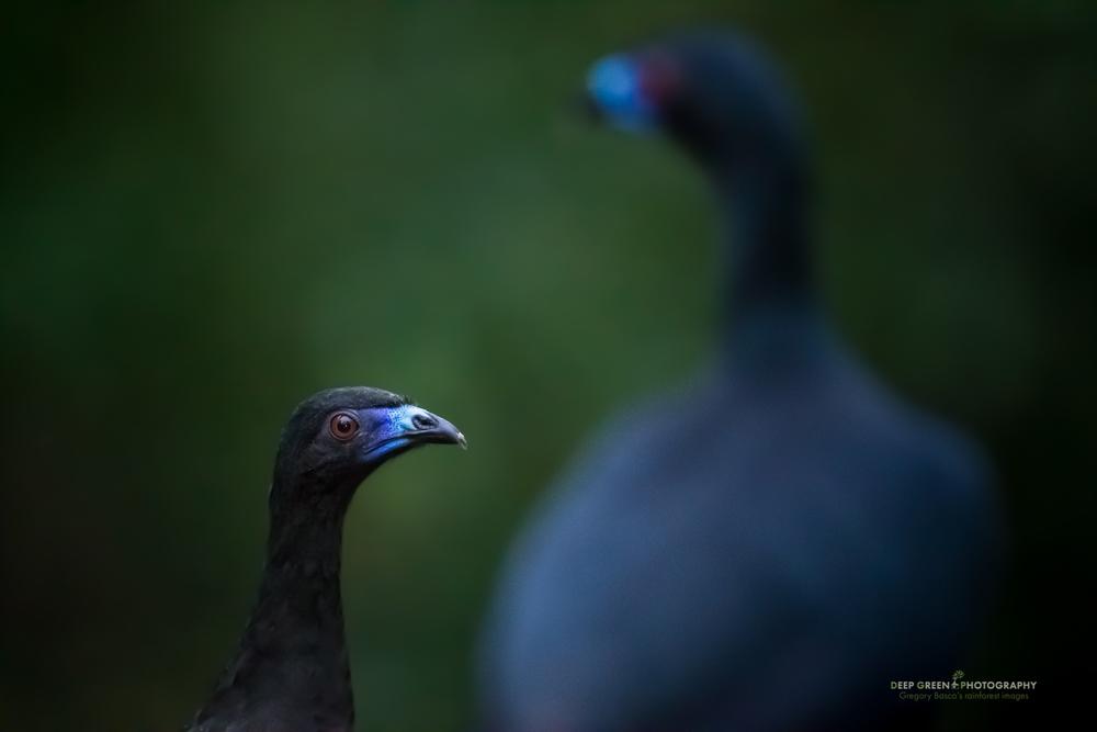 black guan in cloud forest