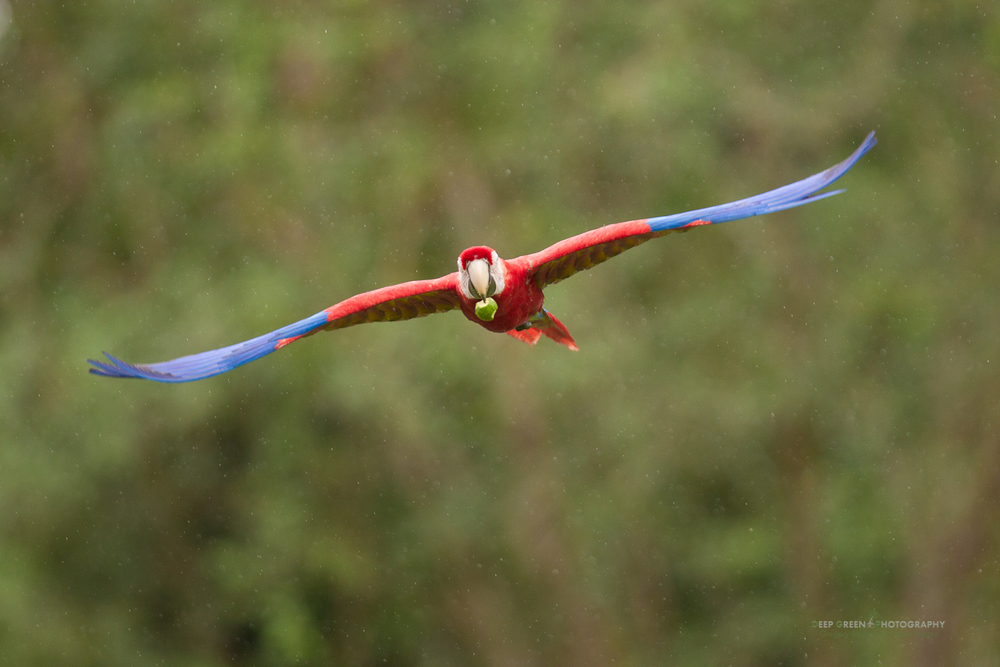 a scarlet macaw flies in the rain after plucking a guava fruit from a nearby tree