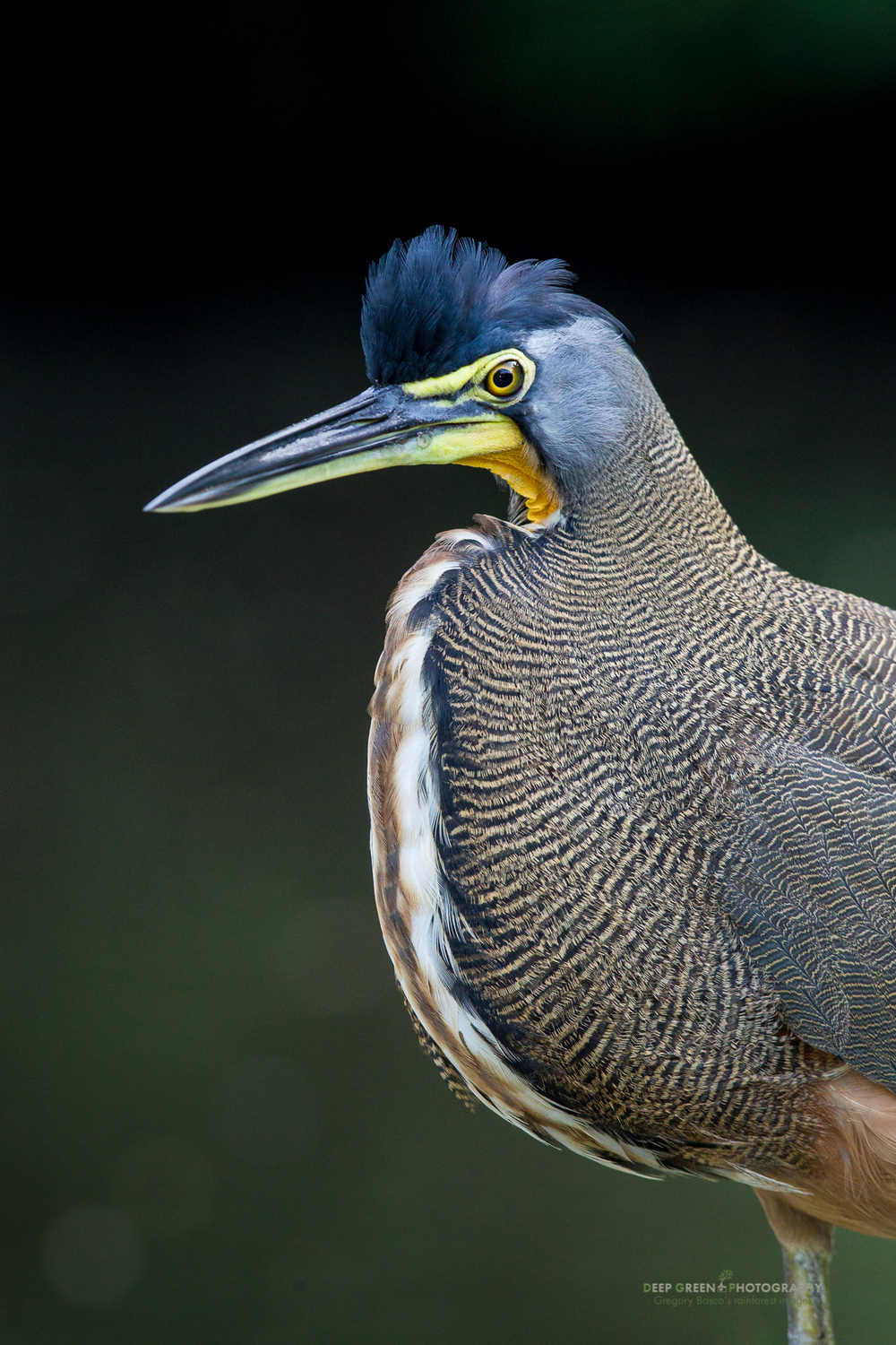 A bare-throated tiger heron in Tortuguero National Park