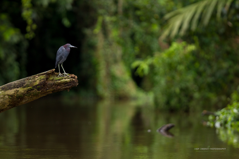 little blue heron in Tortuguero national park