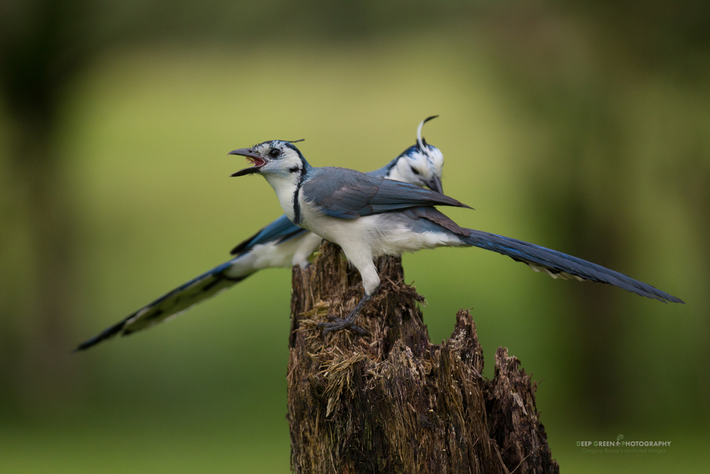 white-throated magpie jays