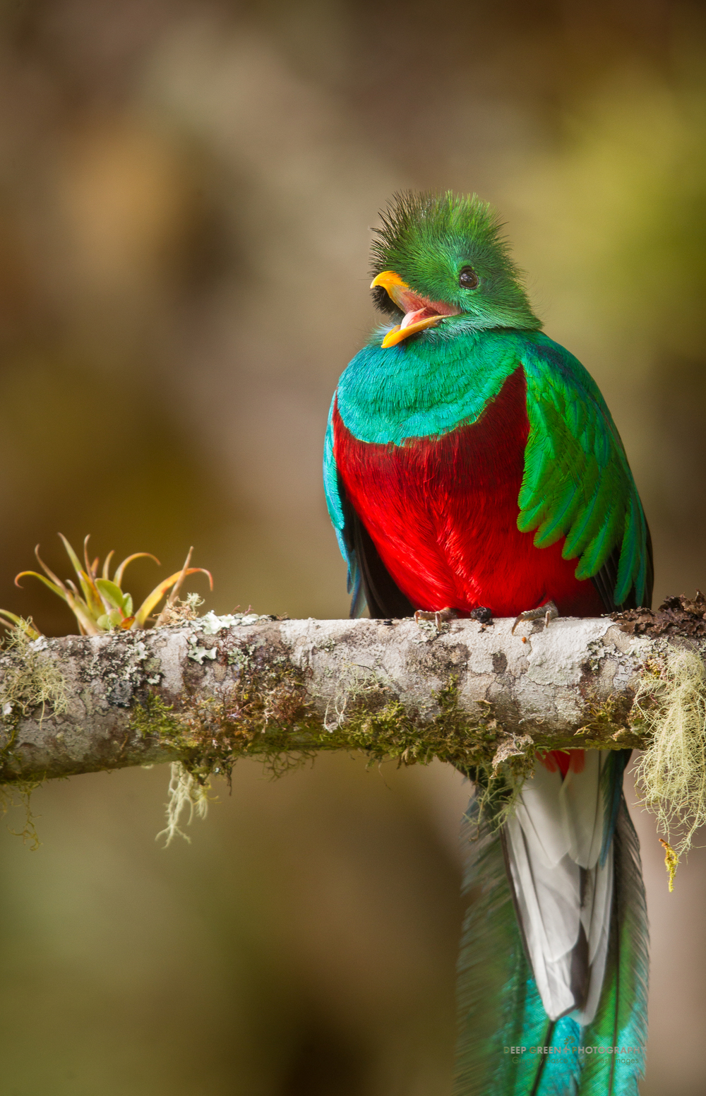 resplendent quetzal calls in the cloud forest