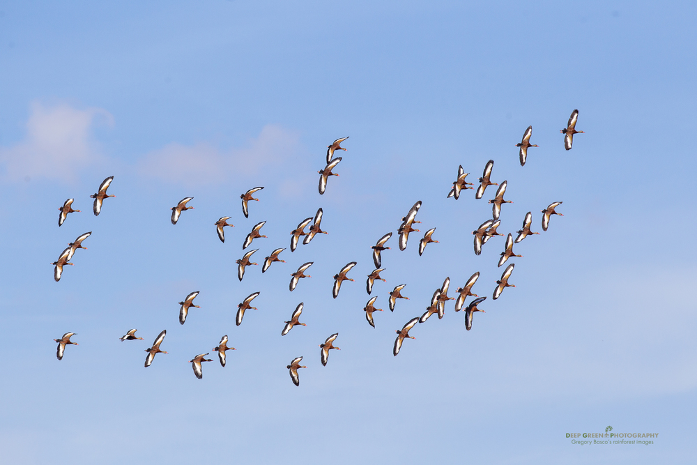 blue-winged teal fly across a classic Guanacaste sky