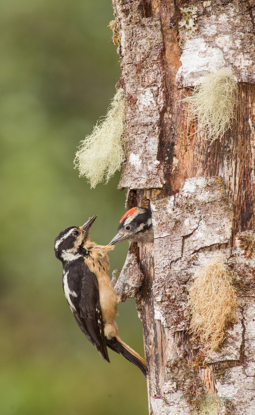 hairy woodpecker at nest with chick