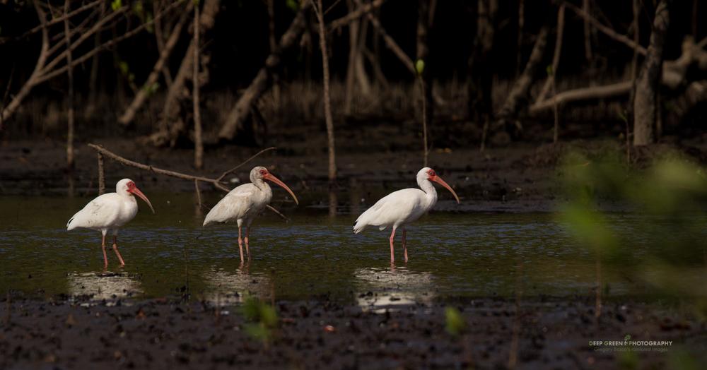 white ibis in a mangrove swamp