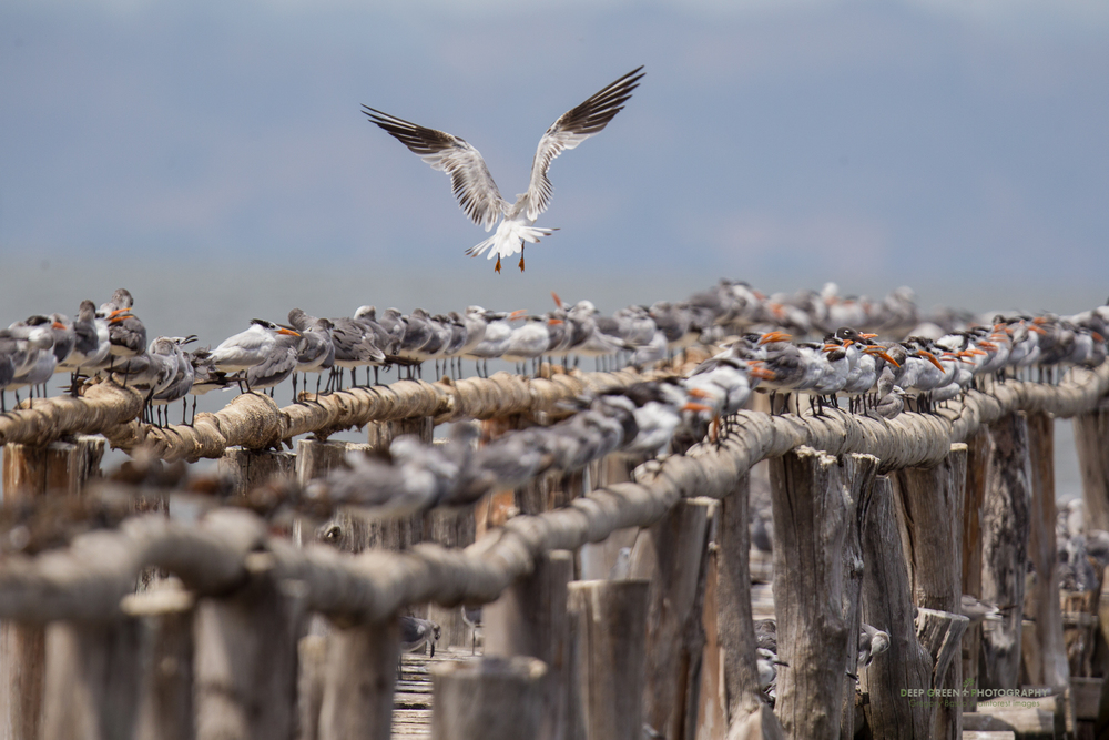 gulls and terns in the Gulf of Nicoya