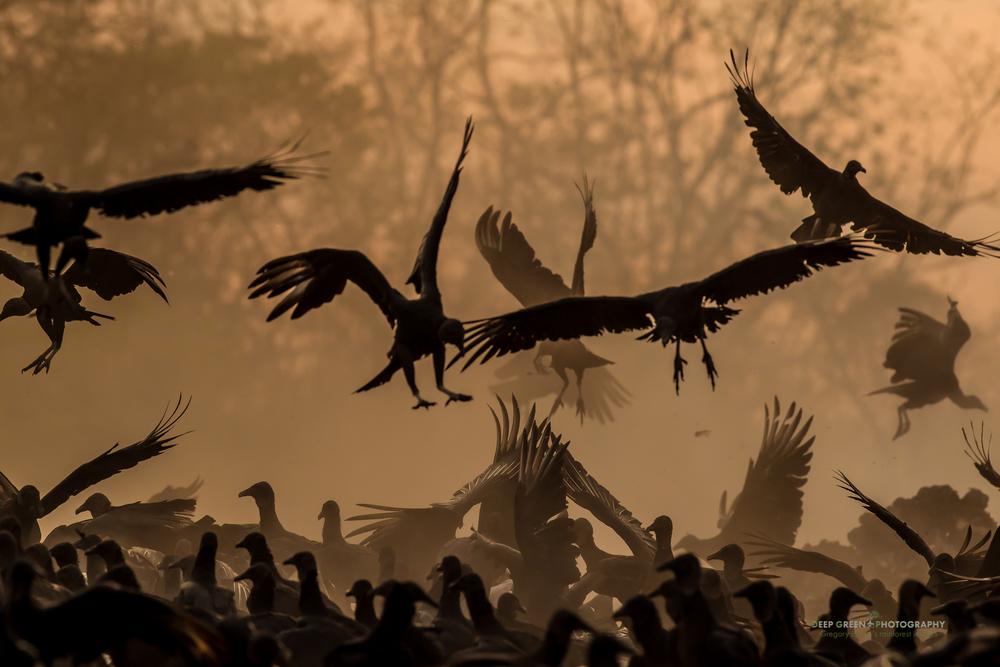 black vultures fighting at sunset