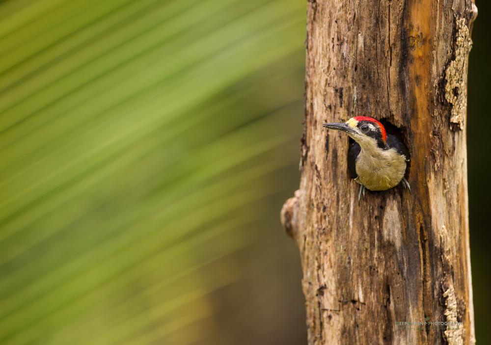 black-cheeked woodpecker in rainforest