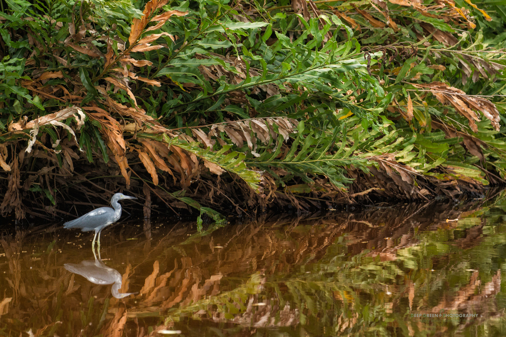 little blue heron in Cahuita national park