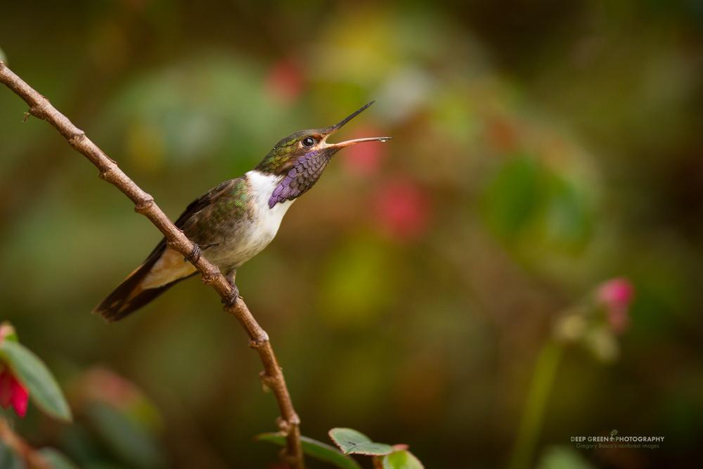 volcano hummingbird, Talamanca race