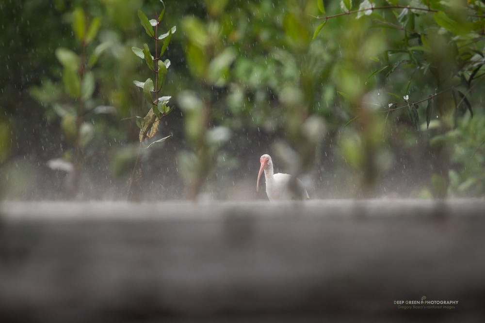 white ibis in downpour in a mangrove swamp