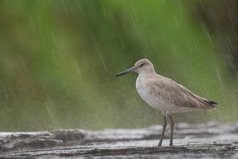 willet in the rain