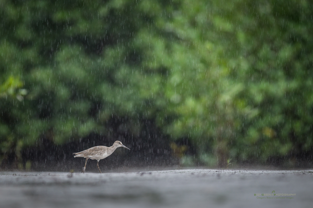 a willet searches for food during a rainstorm in a mangrove swamp