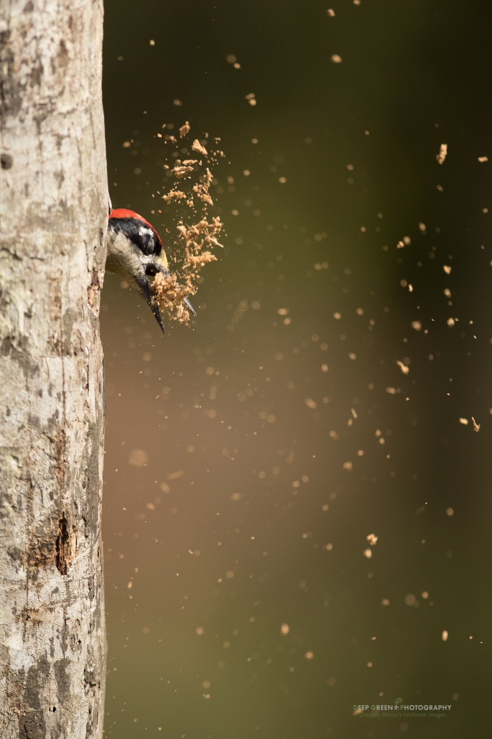 a black-cheeked woodpecker expels sawdust as it excavates a new nest cavity in a rainforest