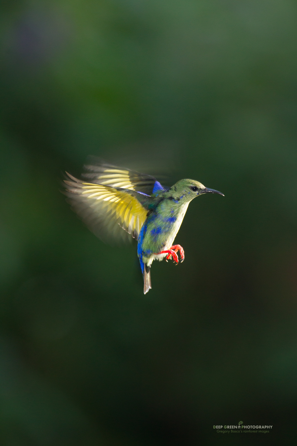 a juvenile red-legged honeycreeper hovers before moving in to feed