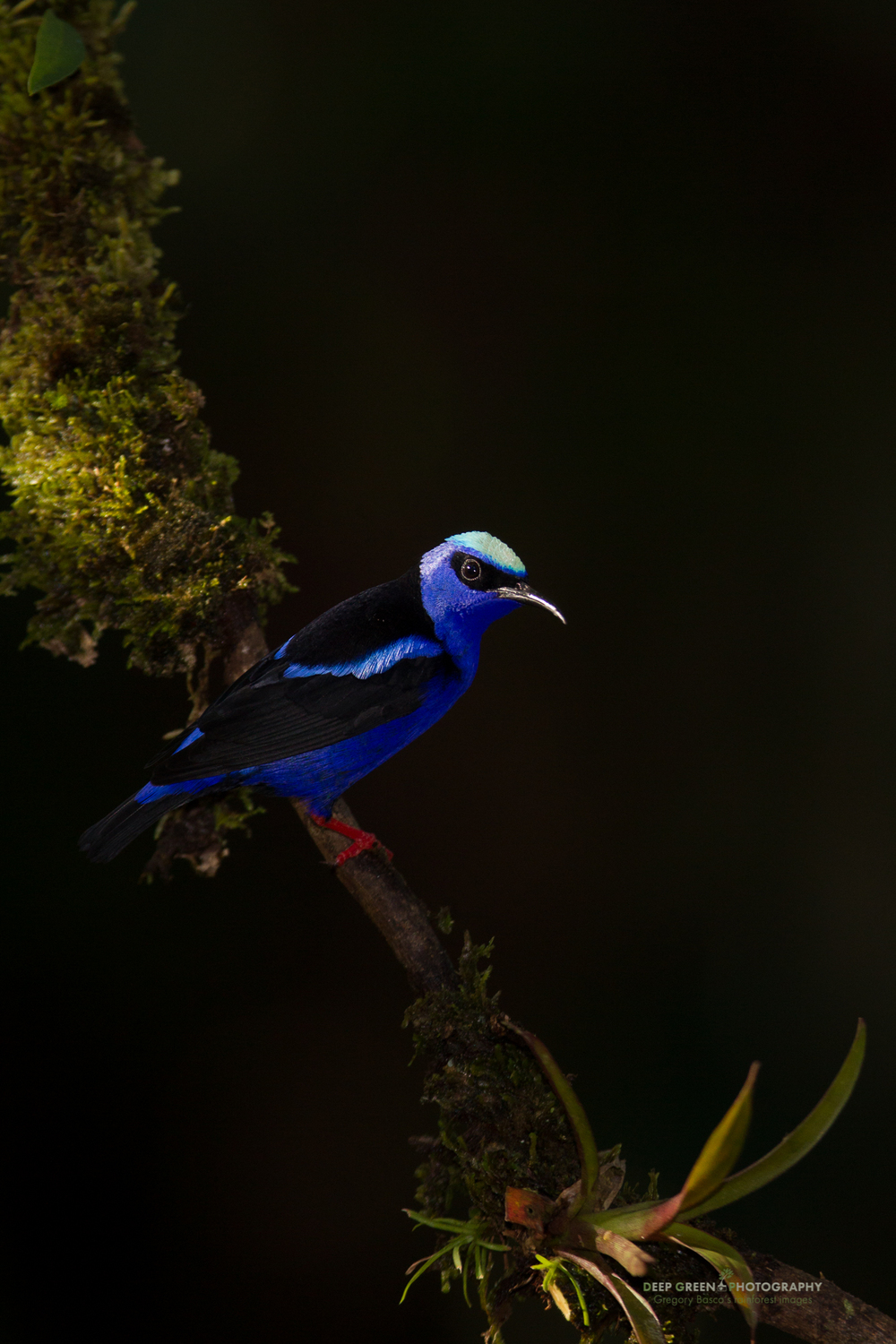 red-legged honeycreeper catches the last rays of light in a rainforest