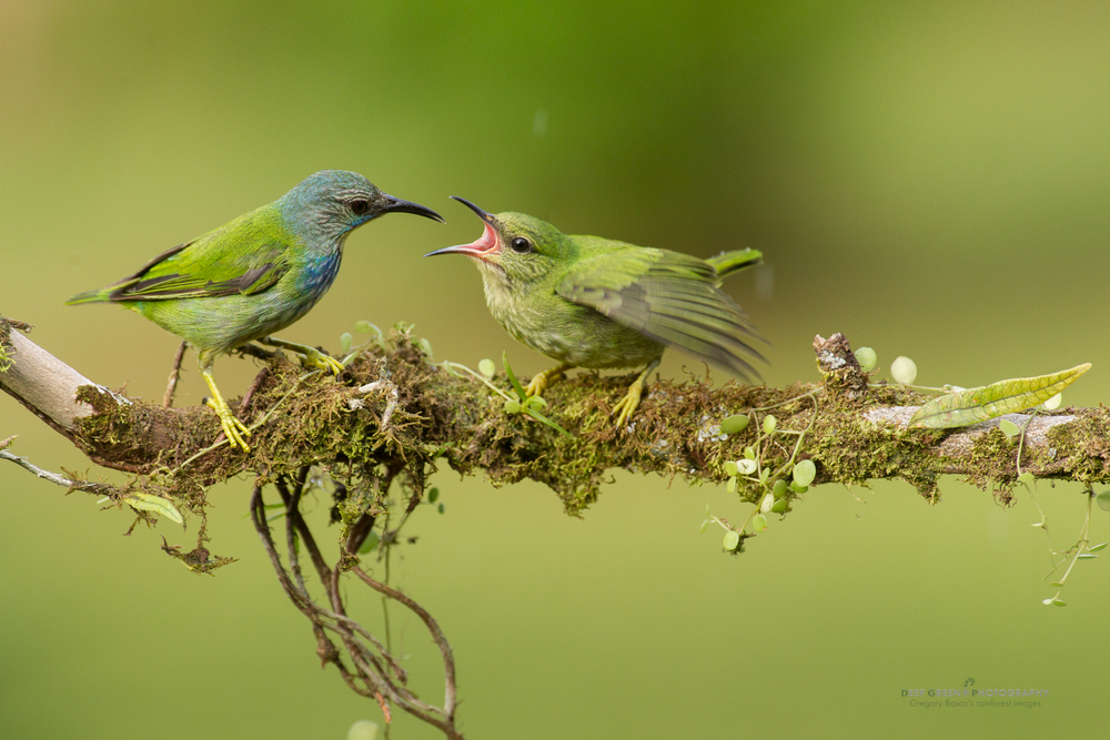 shining honeycreeper feeds a chick
