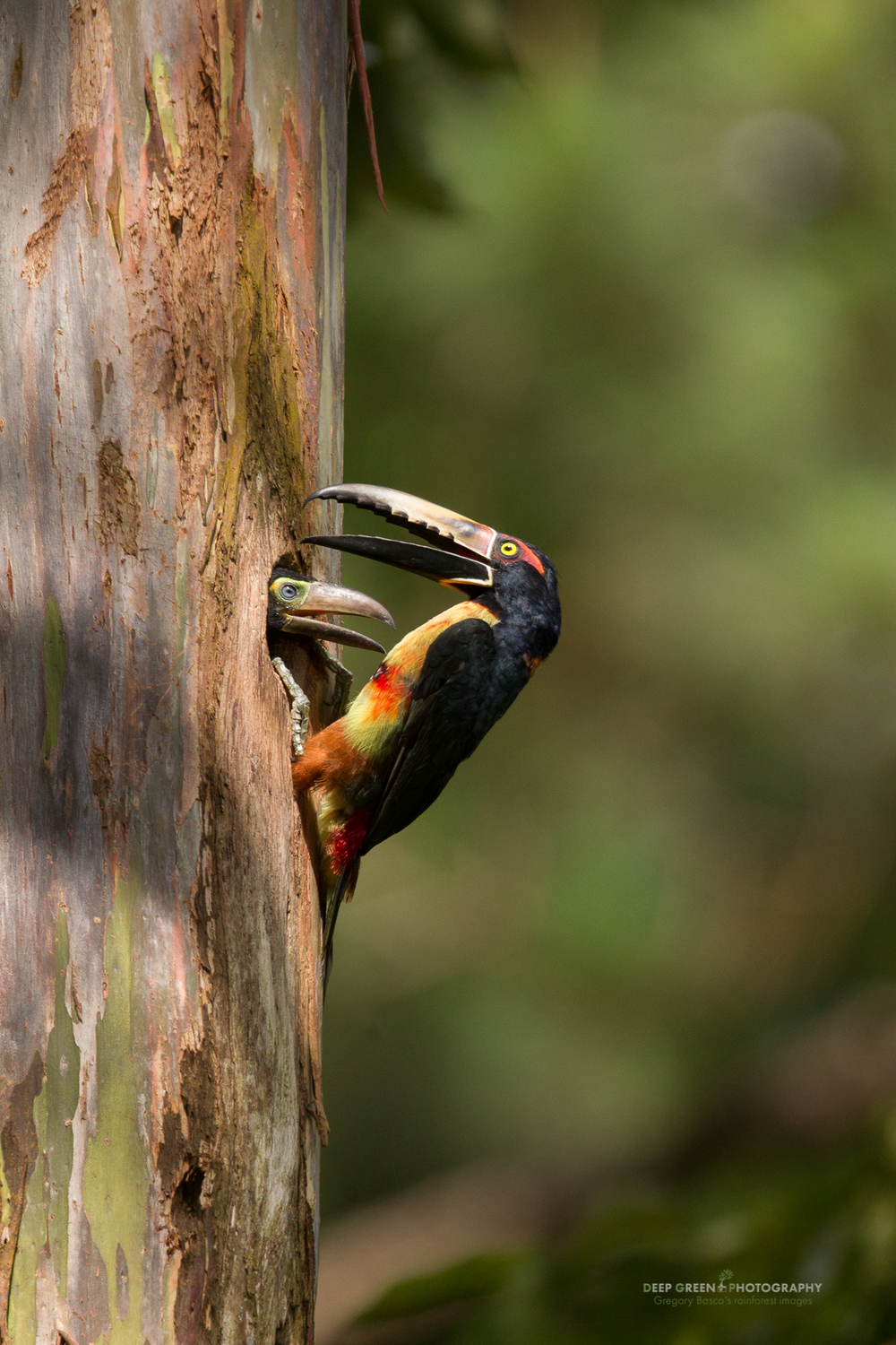 a collared aracari feeds its chick at the nest