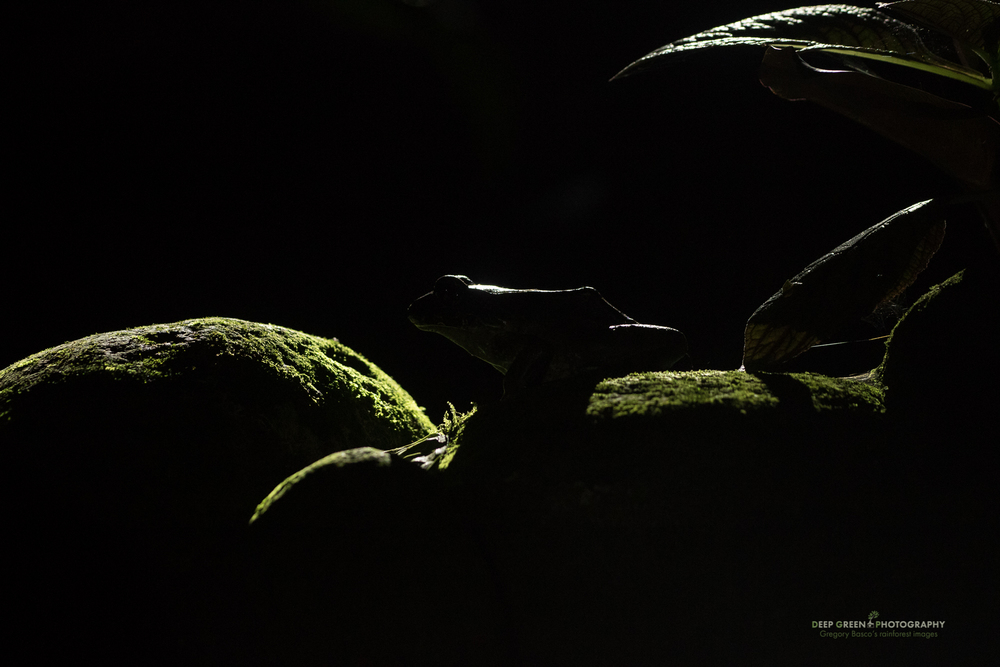 A Valliant's frog at night in a rainforest pond