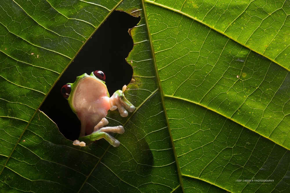 A Gliding Leaf Frog (Agalychnis spurrelli) in a rainforest at night in Ecuador