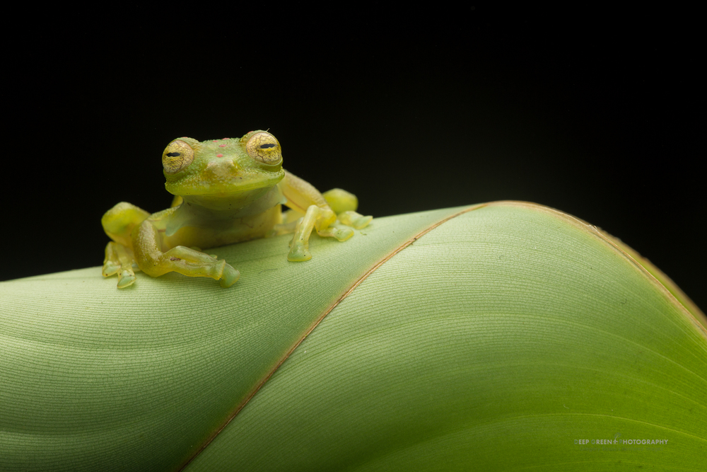 glass frog elegance