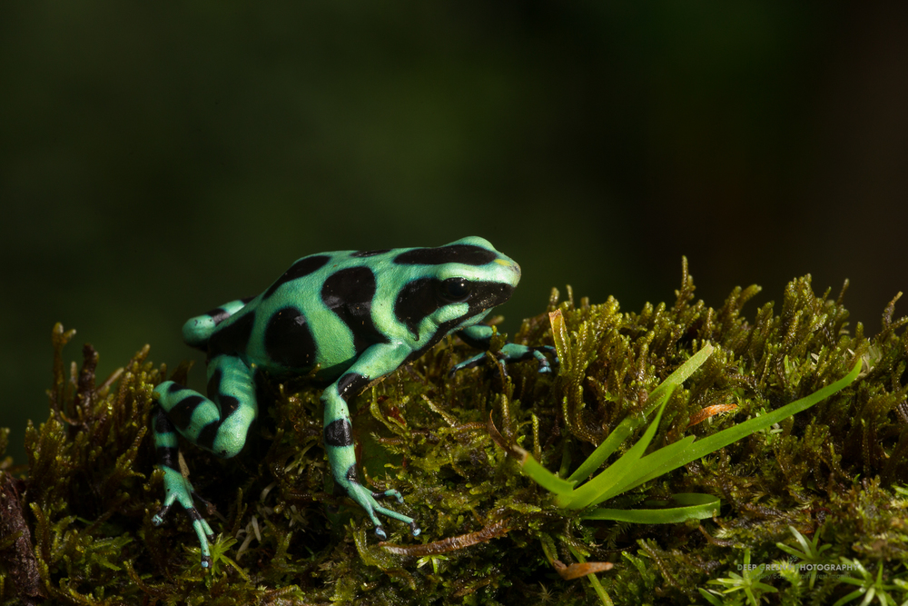 green and black poison frog (Dendrobates auratus)
