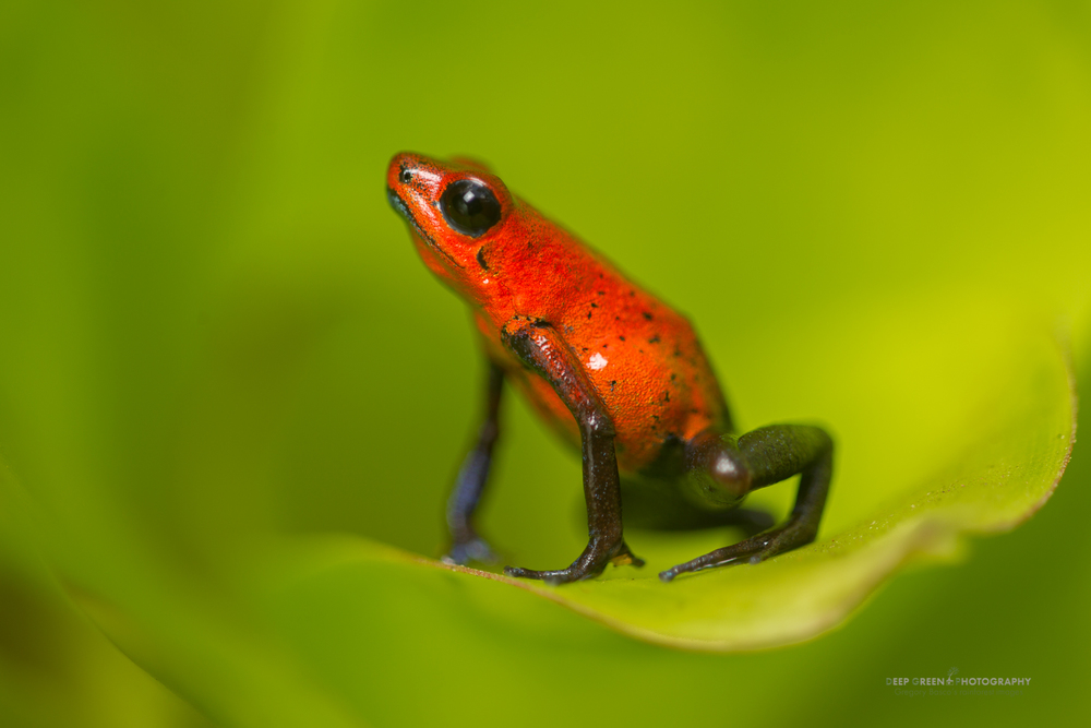 Strawberry poison frog (Oophaga pumilio), Costa Rica