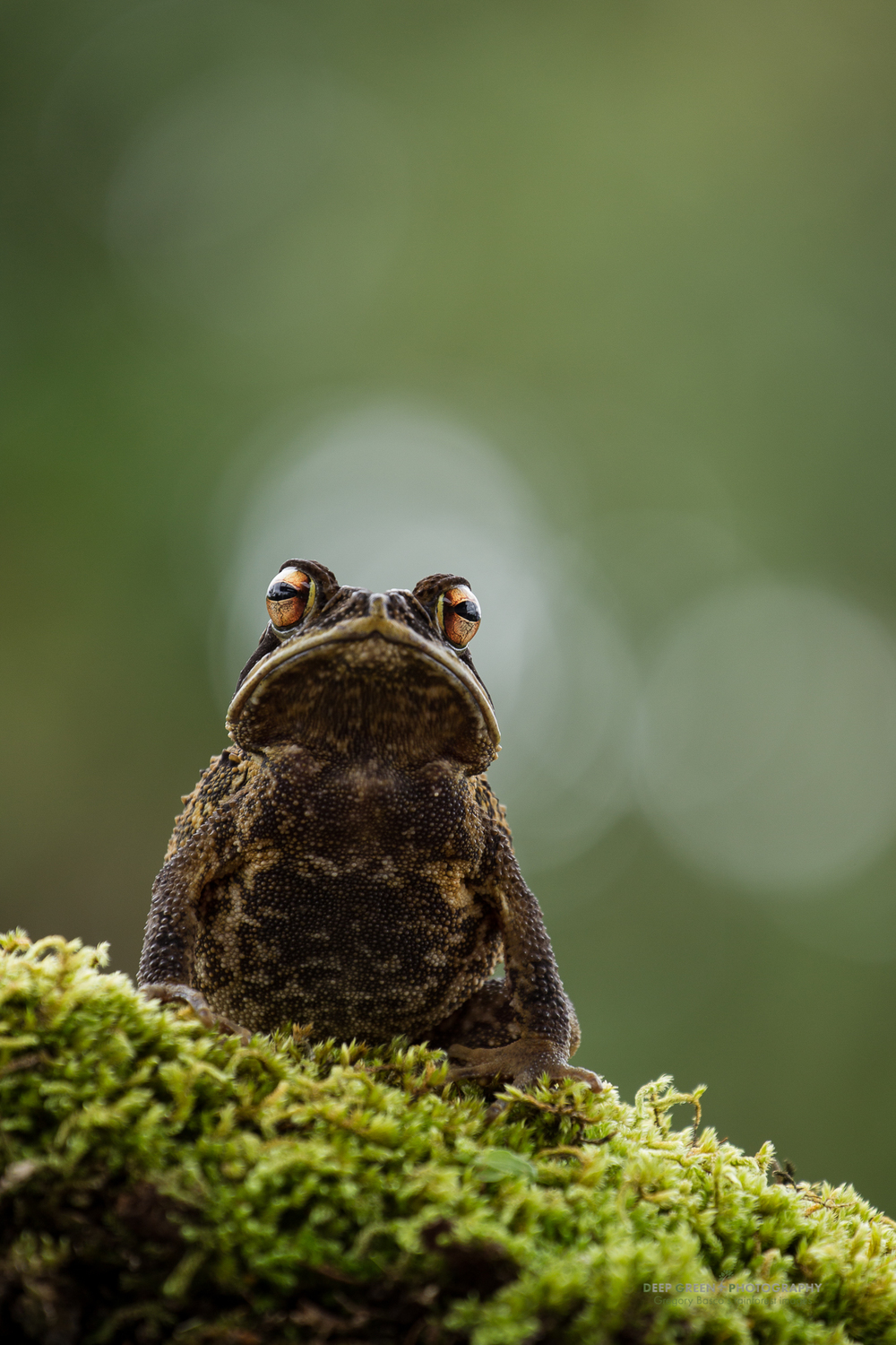 Gulf Coast Toad (Bufo valliceps)