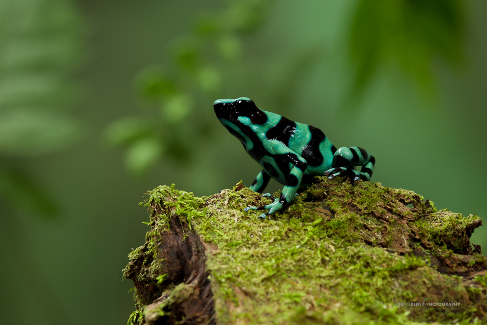 Green and black poison frog (Dendrobates auratus) in a Costa Rican lowland rainforest