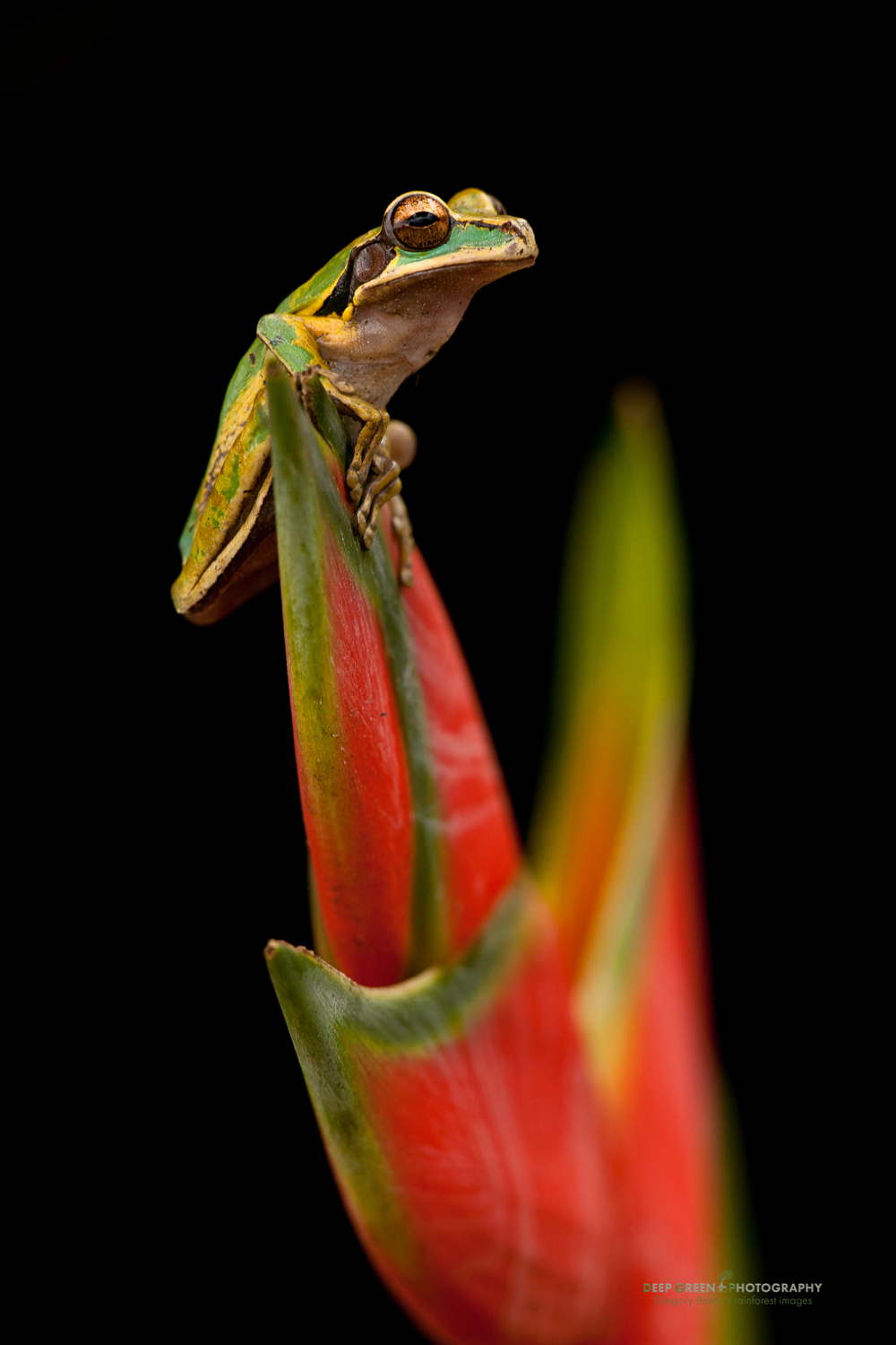 Masked tree frog (Smilisca phaeota) on a Heliconia