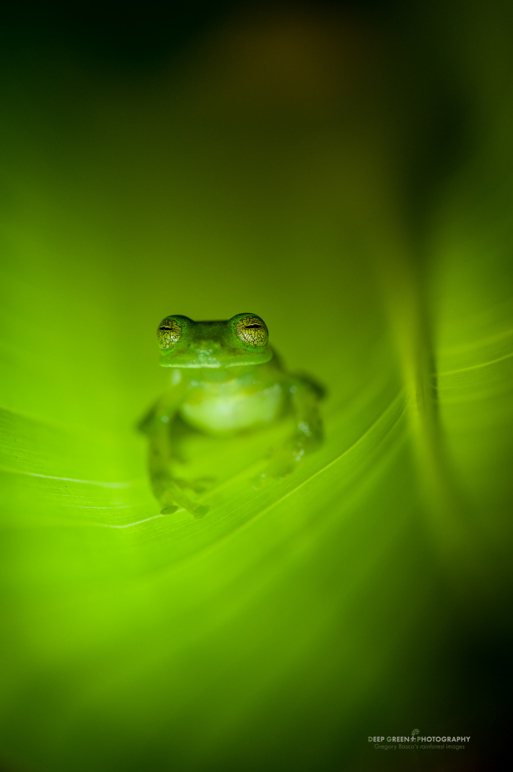 an emerald glass frog at night on a cloud forest leaf