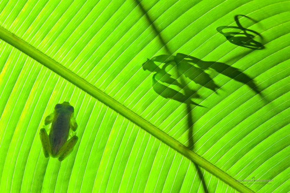 an emerald glass frog on a Calathea leaf with vine tendril silhouette