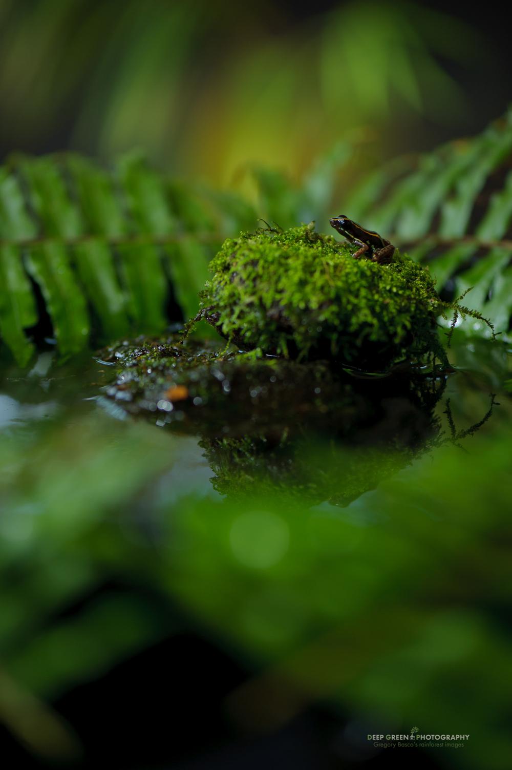Lovely poison frog (Phyllobates lugubris)