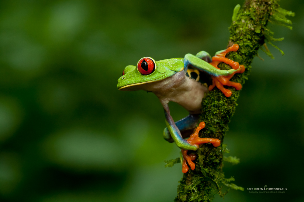 Red-eyed tree frog (Agalychnis callidryas), the most famous frog in Costa Rica and possibly the world