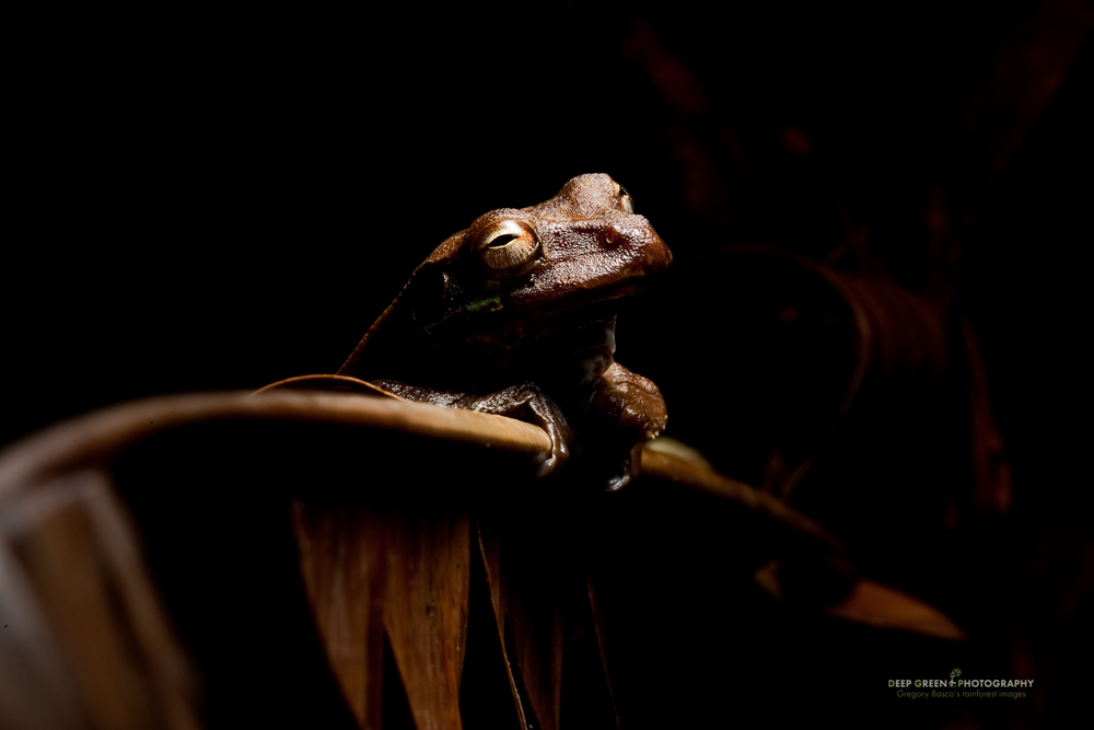 Tree frog (Smilisca sp.), Tortuguero National Park
