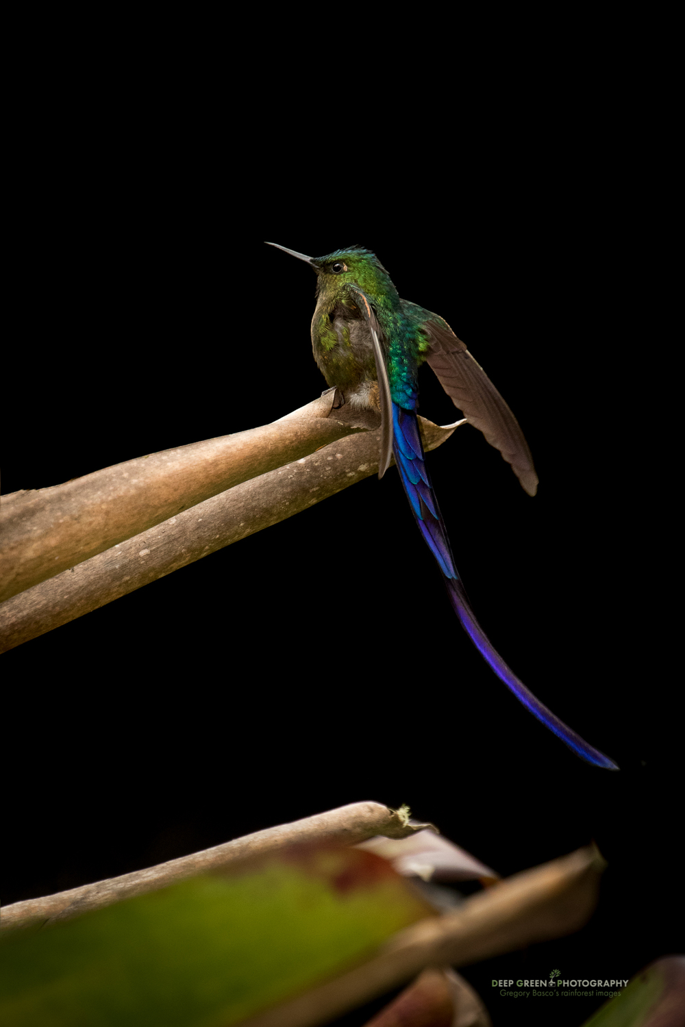 a violet-tailed sylph visits in Ecuador