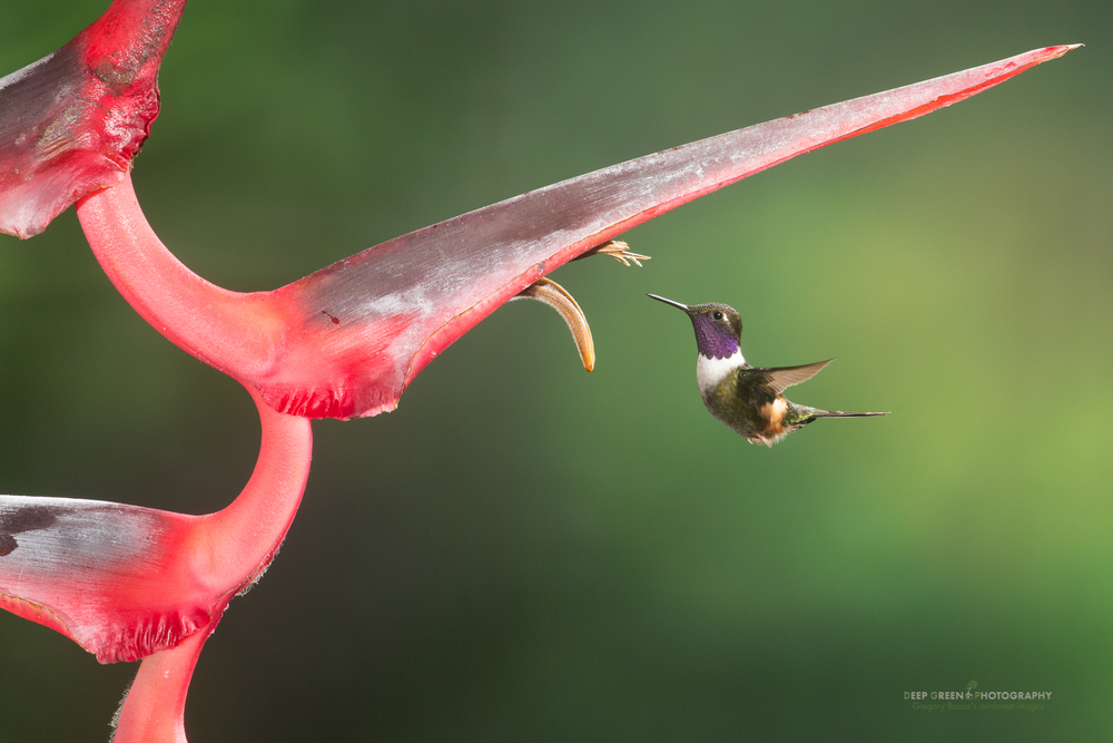 a purple-throated woodstar visits a Heliconia flower in Ecuador