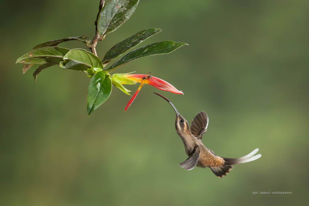 long-billed hermit visits a rainforest Columnea flower
