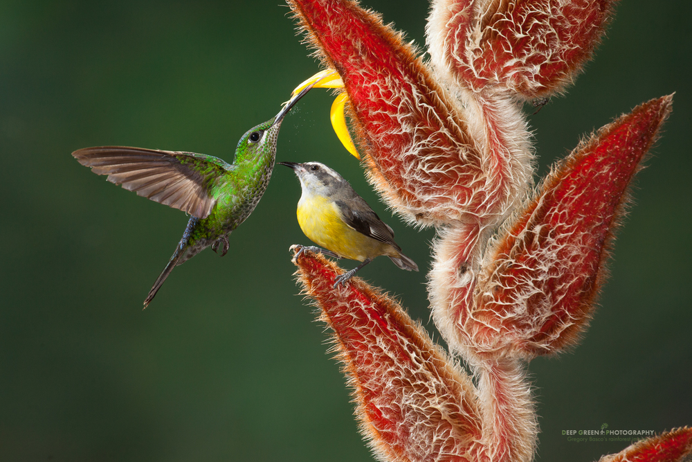 a green-crowned brilliant visits a cloud forest Heliconia while a bananaquit waits to feed