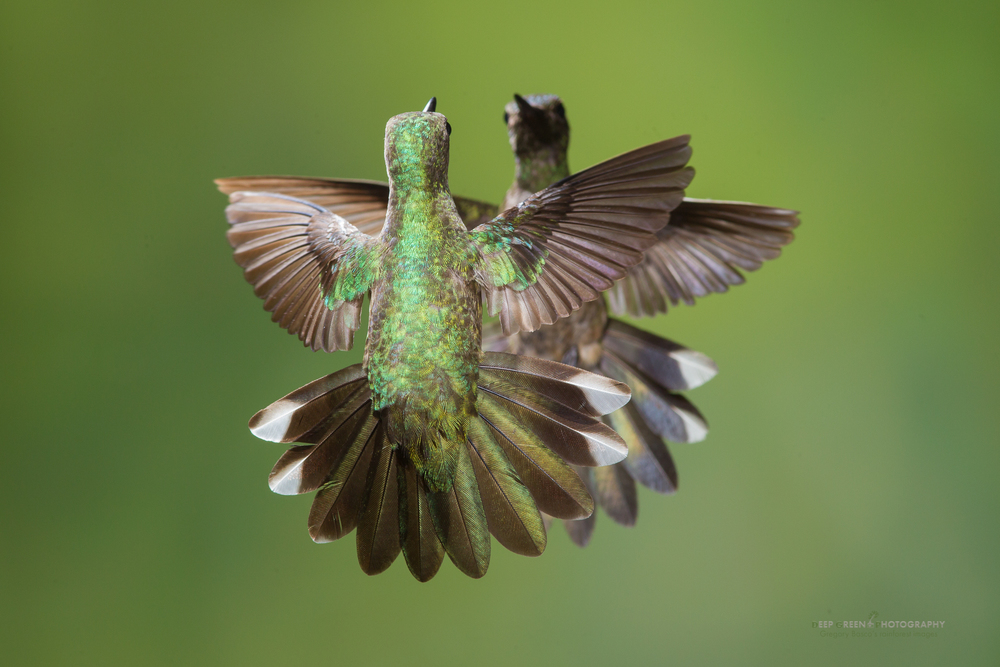 scaly-breasted hummingbirds face off in a territorial dispute